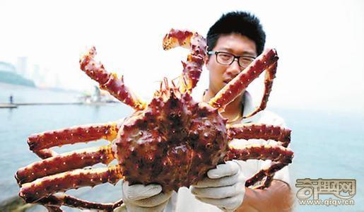 """山东烟台超大螃蟹现身烟台身长一米号称""""帝王"""""""