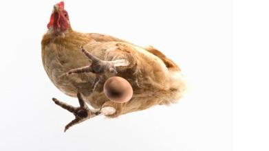 英科学家宣称破解千古之谜:先有鸡后有蛋