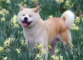 柴犬和秋田犬,并不是同一种土狗