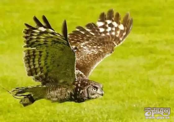 15种动物拥有超能力 猫头鹰隐身术超强