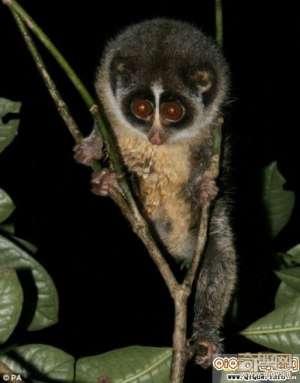 科学家首次拍到最稀有灵长动物灰脊懒猴