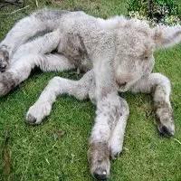 内蒙古惊现畸形羊羔共有7条腿
