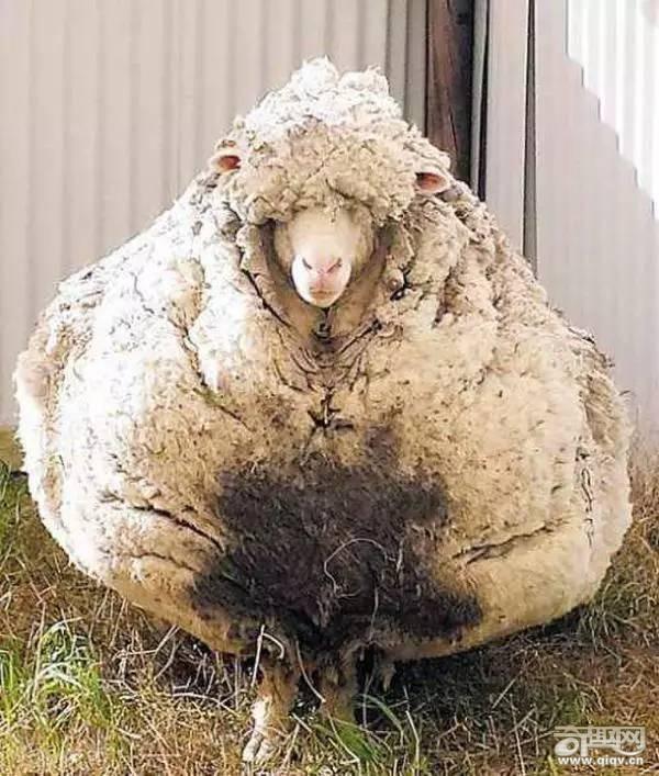 世界上最牛的羊,没有之一