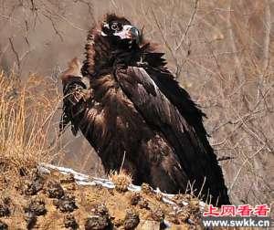 黑龙江明水县发现一只野生秃鹫