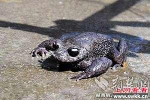 惊喜!湖北恩施马村发现世界级胡子蛙